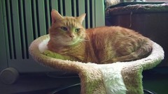 Taz enjoying his new bed. (julzz2) Tags: cats pets animal animals mycats felines cutecats gingercats pussycats animalfaces catlovers catsfaces sunnycats felinefaces petsfaces