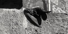 Fallen angel (Bonsailara1) Tags: blackandwhite espaa black angel dead spain paloma fallen pidgeon ciudadrodrigo castillaylen bonsailara1