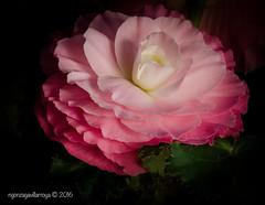 It  is a beautiful Spring day! (Oomphoto - Nancy G. Villarroya) Tags: pink plant flower macro nature blackbackground petals begonia begoniaceae vignette pinkpetals shadesofpink dsc23903