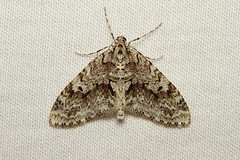 Cladara limitaria (Mottled Gray Carpet Moth) Hodges # 7637 (Nick Dean1) Tags: insect washington moth lepidoptera washingtonstate animalia arthropoda hodges arthropod hexapod insecta washingtonusa hexapoda cladaralimitaria mottledgraycarpetmoth carpetmoth hodges7637