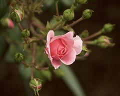 buds and the rose (Pejasar) Tags: flowers oklahoma rose spring buds tulsa buddingout