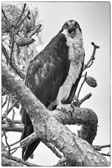 """Osprey Talk""...4/30/16 (turtlehawk) Tags: outdoors o wildlife april osprey bethanybeach 2016 bluecoast 043016"