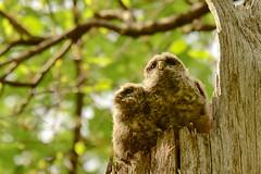 I Just Can't Wait To Fly (jackkostelec) Tags: maryland owl barred owlet owlets barredowls marylandowls