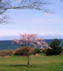 blossom (odysseus62) Tags: scotland april moray nairn 2016