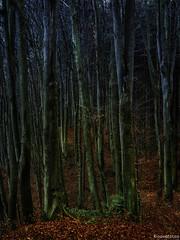 Buchenwald (novofotoo) Tags: bayern deutschland buchenwald wald winhring