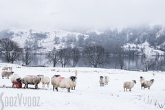 Sheep at Loch Lomond (Sue_Hutton) Tags: winter snow cold reflections landscape outside scotland countryside sheep cloudy spacious lochlomond grandeur glencoetrip fujiholics january2016