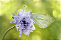 Radiante (- JAM -) Tags: naturaleza flower macro nature insect nikon flor explore jam mariposas d800 insecto macrofotografia explored lepidopteros juanadradas