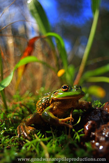 RETRO Growling Grass Frog with Meyer Primagon 35/4.5