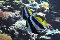 angelfish (greenelent) Tags: nyc fish water brooklyn coneyisland aquarium photoaday 365 angelfish newyorkaquarium