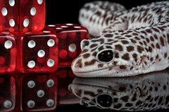 The gambler (hehaden) Tags: red dice reptile gecko bournemouth leopardgecko eublepharismacularis captivelight