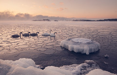 Icy Family Trip (Bunaro) Tags: winter sea snow seascape ice nature water rock fog suomi finland frozen swan helsinki outdoor floating wideangle petal cap raft waterscape vuosaari joutsen uutela