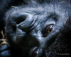 Baby Face (JKmedia) Tags: wood portrait blackandwhite bw cute monochrome animals closeup zoo eyes furry hand upsidedown watching platform rope expressive resting captivity gorillas primates silverback housed westernlowlandgorilla 2015 blackpoolzoo 15challengeswinner boultonphotography