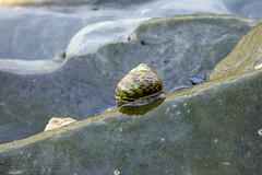 Escargot de mer (MarySloA) Tags: sea mer animal europe snail slovenia slovenija escargot slovnie faune cnidaria escargotdemer seasanil actinierouge