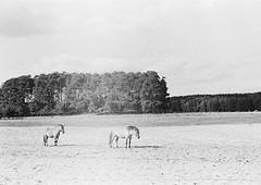 --000008-horses-s Horses and trees / Wildlife park Schorfheide (tataata) Tags: autumn bw film nature animals composition analog germany september wildpark fed3 2014 wildlifepark schorfheide