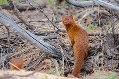 Slender Mongoose (fascinationwildlife) Tags: africa park wild cute nature animal mammal desert wildlife south natur national afrika kalahari sdafrika mongoose slender transfrontier kgalagadi schlankmanguste