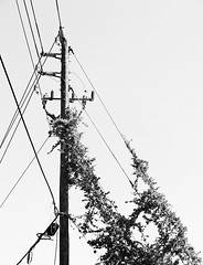 Climbing (Demmer S) Tags: blackandwhite bw plants plant nature monochrome leaves lines outside outdoors climb blackwhite wire vines power ivy vine cable line pole foliage climbing powerlines whitebackground cables wires electricity telephonelines powerline onwhite telephonepole crawling voltage telephonewire blackwhitephoto blackwhitephotos