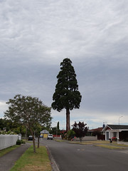 So long, giant Redwood (Home Land & Sea) Tags: newzealand tree giant nz redwood goodbye pointshoot sonycybershot hawkesbay taradale homelandsea dschx100v