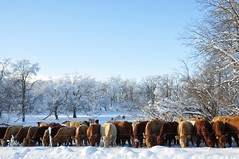 Published in the Manitoba Co-operator (Jeannette Greaves) Tags: winter snow frost cows hoarfrost hugh jeannette 2016 greaves jspubpic xmasday2015 rlfarmpasture