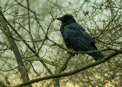 20160116-31_Coombe Country Park_Crow_Rook (gary.hadden) Tags: birds crow rook coombeabbey coombecountrypark coombepark