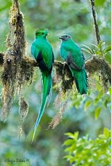 Resplendent Quetzal. male and female, (Pharomachrus mocinno), Quetzal. (Sergio Bitran M) Tags: bird costarica ave quetzal trogon 2016 resplendentquetzal trogoniformes trogonidae