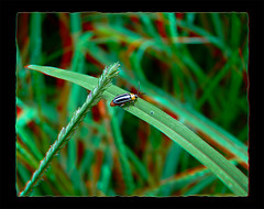Disonycha Glabrata, Pigweed Flea Beetle 3 - Anaglyph 3D (DarkOnus) Tags: macro beautiful closeup bug insect lumix stereogram 3d pennsylvania butt beetle anaglyph panasonic stereo flea thursday stereography buckscounty glabrata pigweed disonycha dmcfz35 beautifulbugbuttthursday