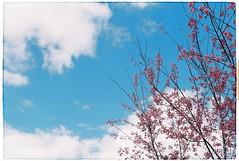 Cherry Blossom (Pankha Nikon) Tags: blue sky flower film analog fuji cherryblossom fujifilm analogue filmcamera nikkormat nikkormatftn