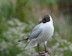 Black-headed Gull / Skrattms (G.Claesson) Tags: summer sweden bokeh sommer sverige vogel sommar blackheadedgull fgel skrattms ms hglandet