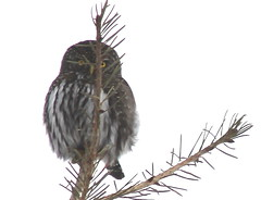 IMG_9739 Northern Pygmy Owl -  Glaucidium gnoma (Jon. D. Anderson) Tags: bird owl pygmyowl northernpygmyowl glaucidiumgnoma birdsofwashington washingtonbirds