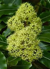 P1030879-large pittosporum flower-A (elisabethgleave) Tags: flowers trees garden pittosporum