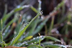 Green Green Grass (gripspix (OFF)) Tags: grass drop dew gras tau tropfen 20160224