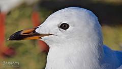 _DSC5499 (dawnbordin) Tags: sea hot bird beach birds head seagull gulls flight chips hungry lennox