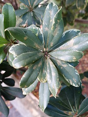 Japanese pittosporum (Pittosporum tobira): Cercospora leaf spot (Scot Nelson) Tags: japanese leaf spot pittosporum tobira cercospora