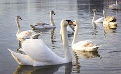 Swans from the river Sava (pexart foto) Tags: sunset nature birds river landscape serbia sava mitrovica galebovi labudovi pejzaz sremska prtice