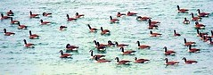 Canada geese (tina negus) Tags: canada water birds geese rutland edith weston