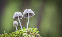 The ousted pretender (Schiffpat) Tags: macro mushroom forest canon mushrooms moss outdoor fungi pilze champignon mycology pilz 6d canoneos6d
