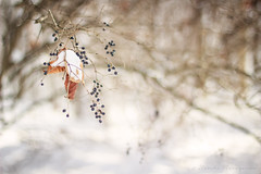 5/52 // we held hands {explore} (naasha2006) Tags: winter snow colors canon photography 50mm leaf berries