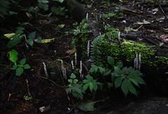 Weird fungi (supersky77) Tags: africa forest rainforest fungi jungle funghi uganda decomposition foresta bwindi forestapluviale giungla bwindiimpenetrablenationalpark bwindiimpenetrable rushaga