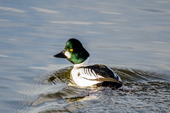 Goldeneye (m) (phat5toe) Tags: nature water birds duck nikon wildlife feathers avian goldeneye wigan flashes greenheart d7000 sigma150500