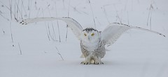 Snowy Owl (Kevin Povenz) Tags: snow cold bird nature yellow standing canon outdoors stand wings eyes outdoor michigan wildlife january sigma owl upnorth upperpeninsula birdsofprey yelloweyes saultstemarie snowyowl 2016 sigma150500 canon7dmarkii kevinpovenz
