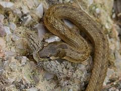 Little snake eating a gecko (Geminiature Nature+Landscape Photography Mallorca) Tags: little snake smooth mallorca pequeo false majorca algerian balearen slang kleine serpiente balearics cucullatus balear mauritanicus macroprotodon culebradecogulla macroprotodonmauritanicus