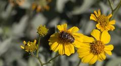 Touch Of The Fly (harefoot1066) Tags: asteraceae syrphidae diptera brittlebush encelia enceliafarinosa syrphidfly aschiza eristalinae volucellini copestylum copestylumisabellina copestylumsubgenusphalacromya