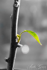 First leaf of spring (Andee Green Photography) Tags: wood uk england blackandwhite bw plant macro nature monochrome leaf stem flora nikon flickr chili bokeh grow seed growth micro desaturation bud selectivecolor photosynthesis d3200