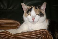 Sira (zacken200) Tags: pet brown animal cat sweet katze braun haustier chillen tier sitzend ausruhen liegend ss