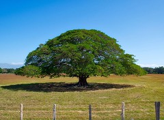 Day 304. Feels really good to be back on the road, especially since the road I'm walking is under construction so I have an entire lane to myself. Here's a Guanacaste tree, the national tree of Costa Rica. #theworldwalk #travel #costarica