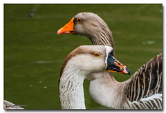 20160212_140423 (gabrielpsarras) Tags: park bird water animal duck couple pair environmental environment