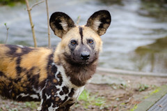 African wild dog (Mathias Appel) Tags: africa autumn wild portrait dog fall leaves animal animals fur zoo tiere african painted herbst hunting ears canine hund afrika hunter tierpark blätter fell snout tier ohren pelz lycaon schnauze jäger pictus pelzig afrikanischer wildhund raubtier predatur