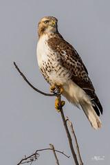 Red-tailed Hawk (Vern4UI) Tags: statepark winter nature birds animal animals us unitedstates wildlife iowa desmoines redtailedhawk westdesmoines walnutwoods