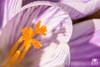 Crocus striated (andrea.prave) Tags: naturaleza white flower macro blanco nature fleur closeup natur flor natura crocus pistil 花 blume fiore 自然 bianco blanc stempel striated زهرة gestreift decerca 白色 weis природа 特写 fermer vicino цветок белый pistilo ホワイト extensiontubes أبيض طبيعة pistillo قريب estriado crocusvernus davicino 性质 пестик striato strié nahansicht 雌蕊 雌しべ tubidiprolunga полосатый 閉じる مقلم andoer закрывать مدقةالزهرة 線状の 横纹肌