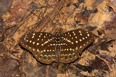 Archduke (Lexias pardalis) (moloch05) Tags: malaysia taman negara
