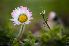 Signs of Spring 2016 (iPhilFlash) Tags: canada flower macro nature leaves petals spring flora britishcolumbia richmond daisy steveston garrypointpark